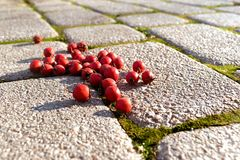 Red small berries and fall leaves on grass background. Red small berries lying on the road paved with old paving stones Royalty Free Stock Image