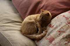 Red small cat on a pillow Royalty Free Stock Photography
