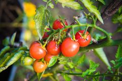 Red Cherry tomatoes outside in the garden stock photos