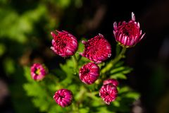 Red small chrysanthemum Stock Image