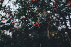 Red Small Fruit and Green Leaf Tree Royalty Free Stock Images