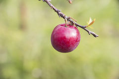 Red small plum Royalty Free Stock Photography