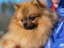 Red small Spitz dog sitting on the hands. Portrait of red puppy Spitz. Red small Spitz dog sitting on the hands stock images