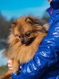 Red small Spitz dog sitting on the women`s hands. Red small Spitz dog sitting on the women hands stock images