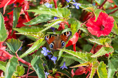 Red Small Tortoiseshell butterfly feasting on flowers.  Royalty Free Stock Photo
