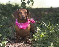 Red Smooth dachshund stands in patch of light outside. Small red dachshund looking off camera standing in the garden with hot pink bandana royalty free stock images