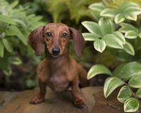 Red Smooth doxie leaning towards camera from green bushes. Small red dachshund puppy smiling with front legs up on a rock wall in the garden surrounded by stock image