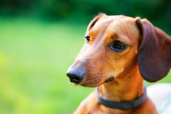 Red smooth-haired dachshund portrait closeup Royalty Free Stock Photography