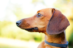 Red smooth-haired dachshund portrait in profile closeup Royalty Free Stock Image