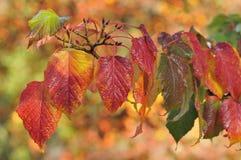 Red Snake Bark Maple - Acer capillipes Stock Photo