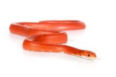 Red snake Stock Photos