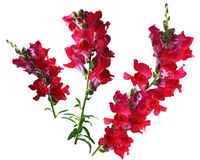 Red Snapdragon Flower Stock Image