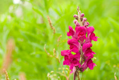 Red snapdragon flower in wild Royalty Free Stock Photos