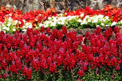 Red snapdragon flowers. Royalty Free Stock Photos