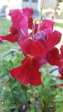 Red Snapdragon Royalty Free Stock Photo