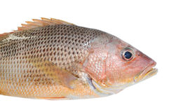 Red Snapper Royalty Free Stock Photos