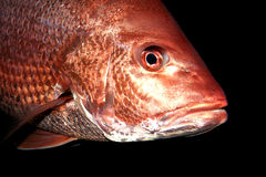 Red Snapper royalty free stock image