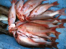 Red Snapper Catch Stock Photography