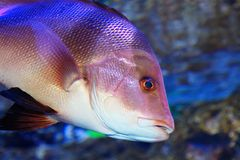 Red snapper Stock Images