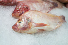 Red Snapper Stock Image