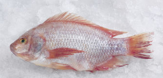 Red snapper fish. / Talapia merah Royalty Free Stock Image