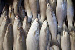 Red snapper fish Royalty Free Stock Photo