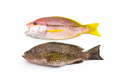 Red Snapper Fish and  areolate grouper (epinephelus areolatus) f Stock Photos