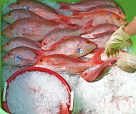 Red Snapper fish being iced Stock Image