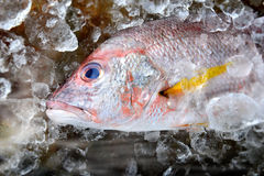 Red snapper fish from fishery market. Stock Photos