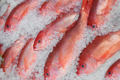 Red Snapper fish on ice Stock Image