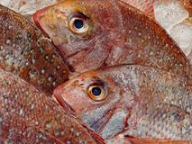 Red Snapper Fish on Ice at Fish Market. Fresh red snappers, packed in ice, for sale at Sydney fish markets, Sydney, Australia stock photo