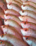 red snapper fishes Stock Images