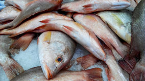 Red snapper. Fresh red snapper fish on ice Royalty Free Stock Photo