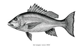 Free Red Snapper Hand Drawing Vintage Engraving Illustration Isolated Stock Photos - 118610403