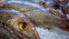 Red Snapper on Ice. Red Snapper fish on ice. Image taken from a local marketplace. This is not a fresh sample Royalty Free Stock Images