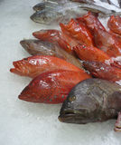 Red Snapper fishes Stock Photo