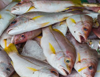 Red snapper on ice Stock Image