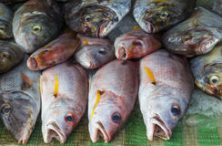 Red snapper on ice in the market. Fresh red snapper on ice in the market stock image