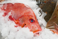 Red snapper on market display Royalty Free Stock Photos