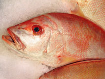 Free Red Snapper On Ice Royalty Free Stock Images - 3389529