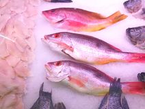 Two species of Red snapper, the black spot and the yellow tail, in the store. Red snapper is a common fish in tropics. Used to fried in soup, baked or sliced.its royalty free stock photos