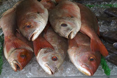 Red snappers on ice Royalty Free Stock Photos