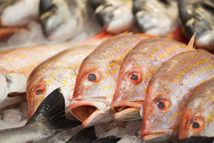 Red snappers in a row Stock Image