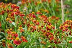 Red sneezeweeds. Close up bokeh Royalty Free Stock Photography