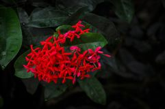 Red snowflakes. Don& x27;t know the name of this flower. Just thought it very pretty Stock Photo
