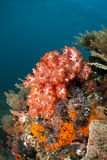 Red soft coral Royalty Free Stock Images