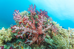 Red soft coral Royalty Free Stock Photos