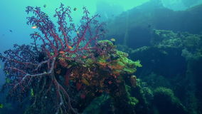 The red soft coral on the ocean floor and fishes. Amazing, beautiful underwater world Bali Indonesia and  life of its inhabitants, creatures and diving stock video