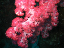 Red soft coral polyps. Macro view of red and pink soft coral polyps feeding in the current; Great Barrier Reef, Australia Stock Photo