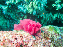 Red soft coral Stock Photo